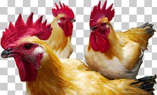 Rooster Chicken As Food Beak PNG