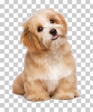 Havanese Maltese Dog Poodle Puppy Cat PNG