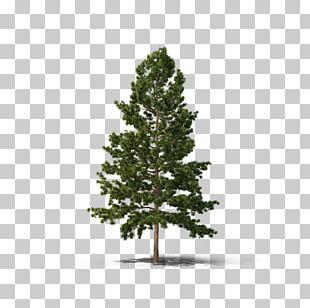 Pine Fir Spruce Tree Conifers PNG