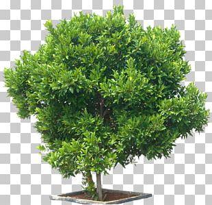Syzygium Paniculatum Tree Eugenia Shrub Maple PNG