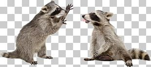 Raccoon PNG