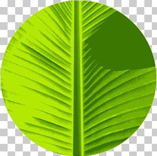 Banana Leaf Green Color PNG