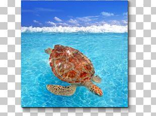 Loggerhead Sea Turtle Green Sea Turtle Modern Sea Turtles PNG