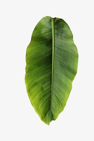 Banana Leaves PNG
