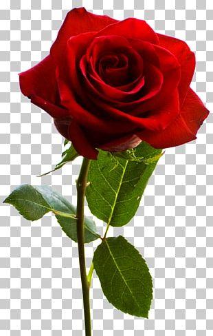 Rose Desktop PNG