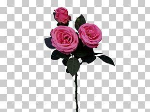 Garden Roses Cabbage Rose Floral Design Cut Flowers PNG
