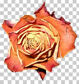 Garden Roses Cabbage Rose Petal Flower PNG