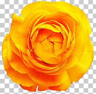 Rose Cut Flowers Yellow Stock Photography PNG