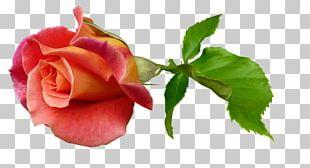 Garden Roses Green Tea Cabbage Rose Flower Floribunda PNG