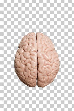 Human Brain Homo Sapiens Brain Test PNG