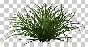 Ornamental Grass Plant PNG