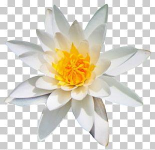 Flower Kolubara PNG