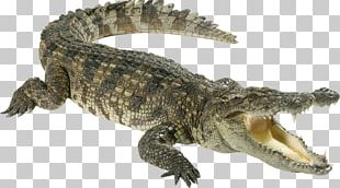 Crocodiles Chinese Alligator PNG