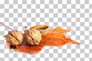 Growing Walnuts Leaf Juglans PNG