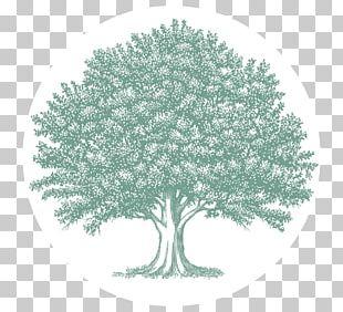 Oak Tree Drawing PNG