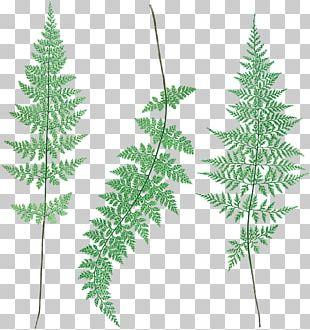 Spruce Royal Botanic Gardens PNG