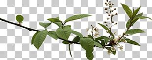 Spring Branch With Budding Flowers PNG