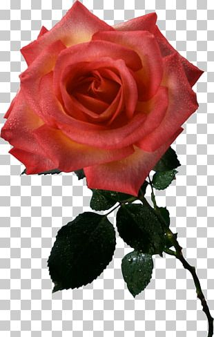 Garden Roses Cabbage Rose Floribunda Take Care Of Mama Cut Flowers PNG