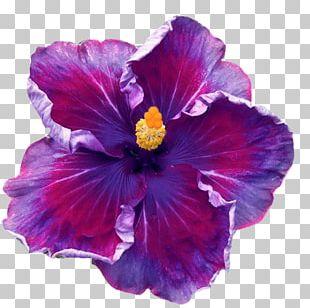 Flower Perennial Plant Shoeblackplant Seed Garden PNG