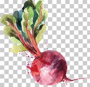 Watercolor Painting Beetroot Drawing PNG