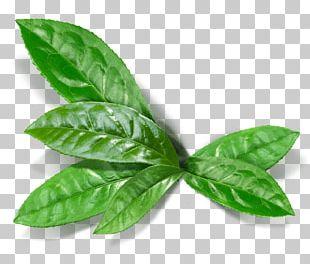 Green Tea Matcha Masala Chai English Breakfast Tea PNG