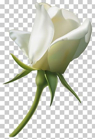 Rose White PNG
