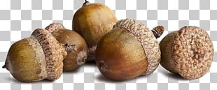 Squirrel Acorn Oak Seed Stock Photography PNG