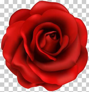 Rose Flower PNG