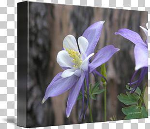 Columbine Bellflower Family Petal Violet Bellflowers PNG