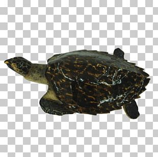Box Turtle Common Snapping Turtle Loggerhead Sea Turtle Tortoise PNG