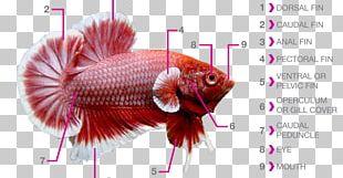 Siamese Fighting Fish Fish Fin Fish Anatomy Aquarium PNG