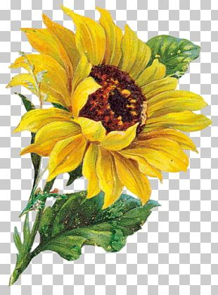 Watercolor Painting Common Sunflower Floral Design PNG