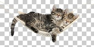 Kitten AllPosters.com Maine Coon Turkish Van Tabby Cat PNG