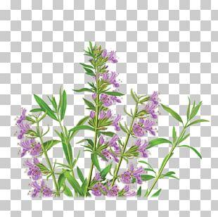 Herbal Tea Anise Hyssop Herbal Tea PNG
