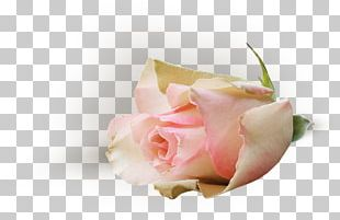 Garden Roses Pink Cut Flowers Cabbage Rose Petal PNG