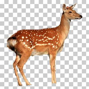 White-tailed Deer Reindeer Moose Elk Roe Deer PNG