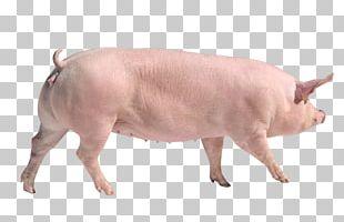 Large White Pig Danish Landrace Pig Duroc Pig Goat Breed PNG