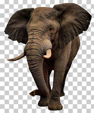 African Bush Elephant PNG