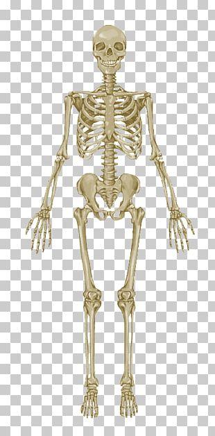 The Skeletal System Anatomical Chart Human Skeleton Human Body Anatomy Bone PNG