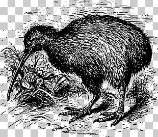 New Zealand Parrot Southern Brown Kiwi Kiwis Great Spotted Kiwi PNG