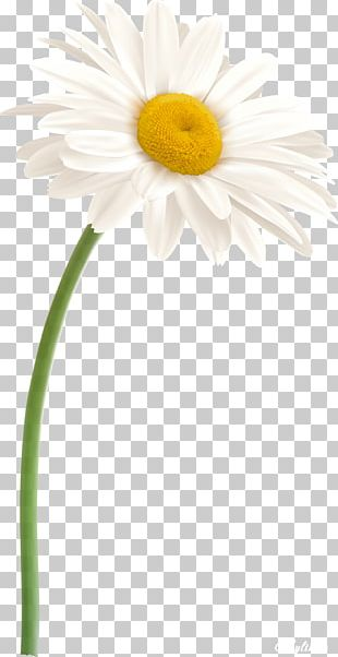 Daisy Family Oxeye Daisy Flower German Chamomile PNG
