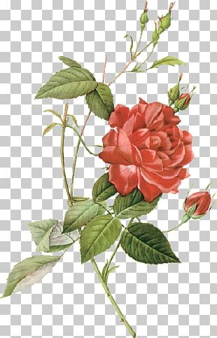 Les Roses Botanical Illustration China Rose Drawing PNG