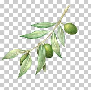 Olive Oil Olive Branch Drawing PNG