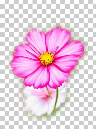 Cosmos Bipinnatus Flower Seed Garden Annual Plant PNG