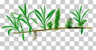 Salix Viminalis Tree Arecaceae Branch Leaf PNG