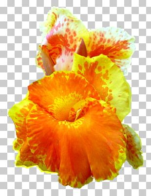 Canna Indica Flower Petal PNG