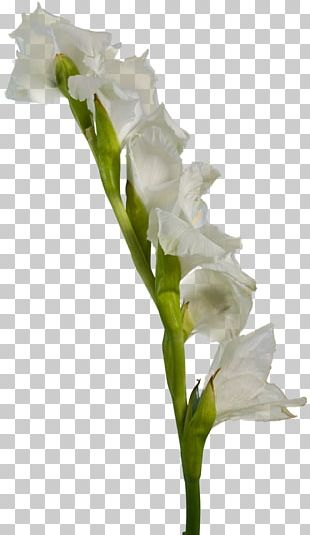 Gladiolus White Cut Flowers PNG