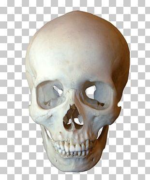 Human Skull Symbolism Human Skeleton Jaw PNG