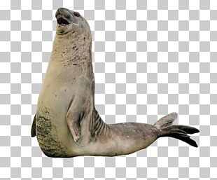 Sea Lion Walrus Harbor Seal Earless Seal Rhinoceros PNG