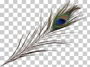 Feather Pavo Asiatic Peafowl Bird Beak PNG